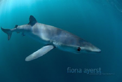 small blue shark sniffing around my camera. yum by Fiona Ayerst